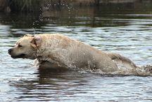 MY LABRADORS / Fair-Court Labradors