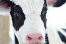 Boci, Cow