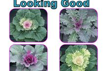 CYCLAMEN & CABBAGE LOOKING GOOD 04.09.14 / CYCLAMEN AND ORNAMENTAL CABBAGE LOOKING GOOD 04.09.14