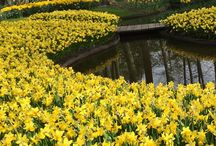 """Daffodils / Companion to our article in The American Gardener magazine """"Meet Daffodil Fanatic Jason Delaney"""" ahsgardening.org/gardening-resources/gardening-publications/the-american-gardener/march-april-2017"""