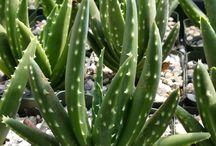 Aloe's