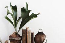 Pflanzen | Geweihfarn/ Staghorn fern