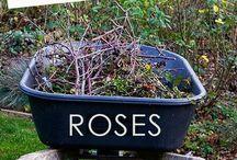 My lovely rose garden