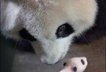 Baby Pandas,Baby Bears