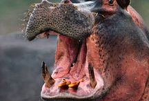 hipopótam