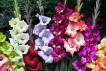 Gladiolus Bulbs / Gladioli are also known as 'sword lilies' due to the sword-like shape of the leaves. They are an easy plant that shouldn't be missing among your summer bloomers. Gladioli are available in many different colors, from light to dark, and the length of their stem gives your garden an added dimension. Gladioli love a sunny spot.