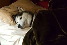 Huskies siberianos