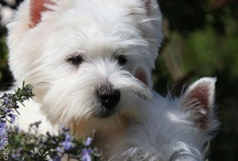 west highland white terrier / Westy mini