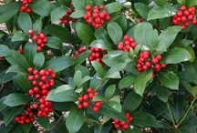 SKIMMIA / Varieties and Colours