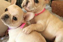 Cachorros de bulldog
