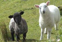 Sheep / Everything sheep related