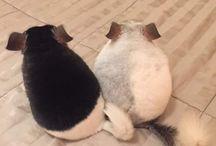Szynszyle/ chinchillas