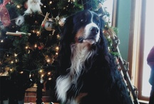For The Love Of Berners! (Bernese Mountain Dog) / by Jody Balyeat Courtney