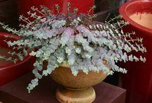 Sedum-succulent