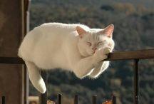 gatti