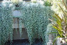 cascading plants