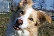borda collie / cute