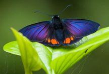 Lepidotera