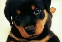 My boy / Rotweilier