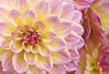 yıldız çiçeği
