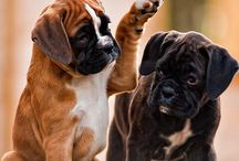 boxers dogs