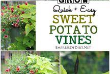 édeskrumpli swettpotato