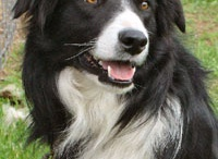 my love for collies