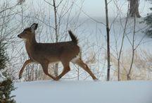 Petit cerf s'amuse.... / Un beau dimanche au gîte, ce petit cerf se baladait tout près de nous.....
