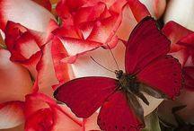 Vörös rózsa Csoport