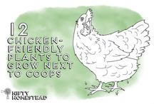 All about chooks