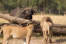 Kenya safaris / Big five animals in Kenya safaris