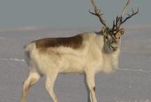 Arctic - Caribou, Reindeer, & Rudolph / by Cynthia Walker