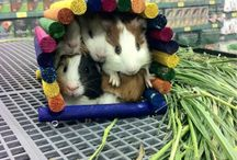 Glorious Guinea Pigs / Small and sweet, guinea pigs are a great little animal, and a wonderful family pet! / by Backyard Chicken Coops