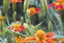 Tagetes: Maddocks Farm Organics. Growing and using organic edible flowers. / Tagetes growing at Maddocks Farm Organics & ideas for using edible sunflowers. www.maddocksfarmorganics.co.uk Available from July - October