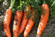 сад-огород Морковь.