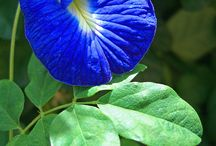 blue  butterfly  vine
