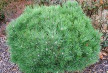 Pinus nigra 'Brepo'