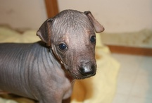 Perro Sin Pelo Del Peru / Lovely hairless dogs