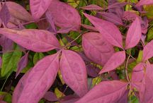 Nandina / Shrubs