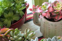 Saksı bitkileri