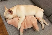 Bulldogues ❤