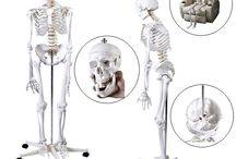 Anatomical Human Skeleton