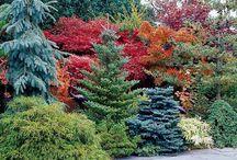 conifers trees garden