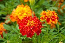 сад  и  огород; цветы