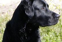 I Love Labs / by Patty Russes