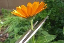 Calendula / by Herb Society of America