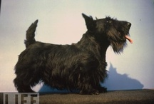 "Scotties and More / I never saw a Scottie until I ""rescued"" my first one, a black one, in 2006 from a pet store in Idaho and I have been rescuing them ever since; from ebay, online etsy and of course Pinterest! / by Linda Vaughn"