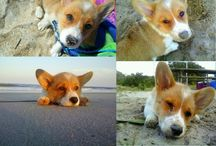 CORGIS!!!!! / by Leah Simmons
