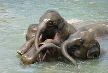 Pinnawala elephant orphanage / Witness these gentle giants play in the water at Pinnawalla Elephant Orphanage. Ichiqoo tip - plan your trip to coincide with feeding time for baby elephants.It is a sight to watch.