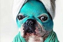 Frenchies ! / French bulldogs / by Krissygirl Burton-Pelkey